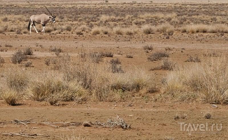 Одинокий сернобык / Фото из Намибии