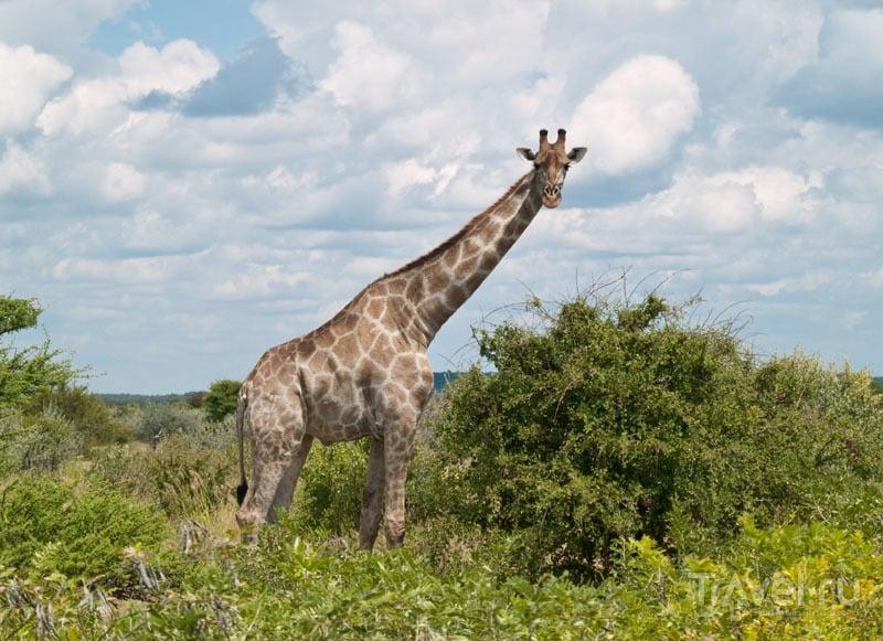 """""""Жираф большой - ему видней"""", Этоша / Фото из Намибии"""