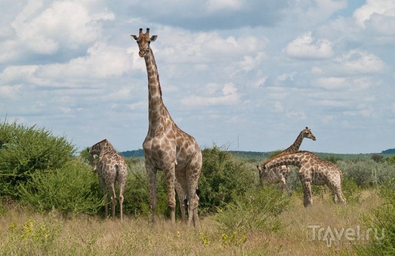 Жирафы в Этоше / Фото из Намибии