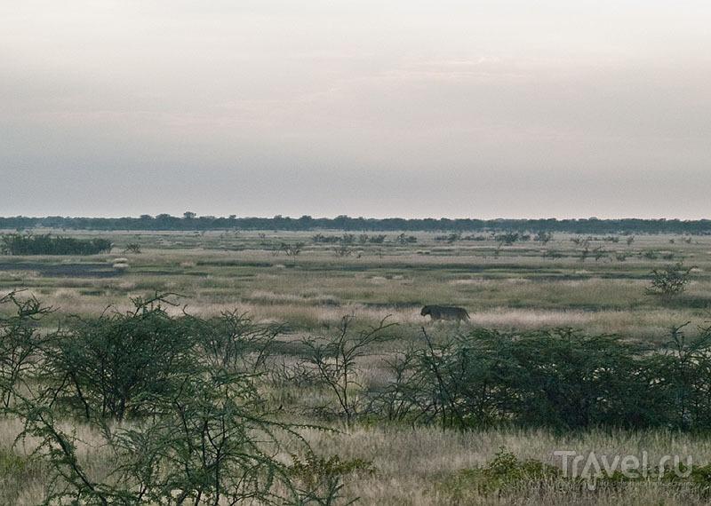 Расслабленный лев в парке Этоша / Фото из Намибии
