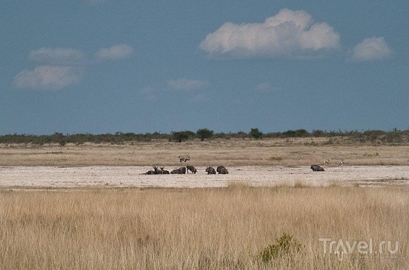 Рогатые звери отдыхают среди дня, Этоша / Фото из Намибии