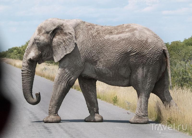 Слон переходит нам дорогу, парк Этоша / Фото из Намибии