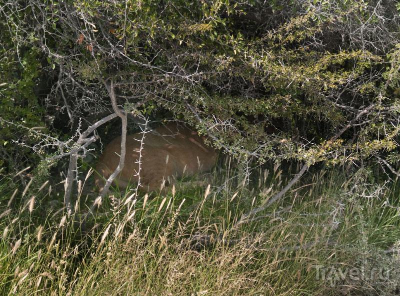 Львица под кустом, парк Этоша / Фото из Намибии