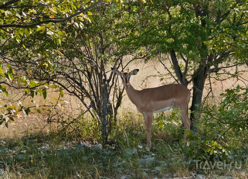 Импала в кустах, парк Этоша / Фото из Намибии