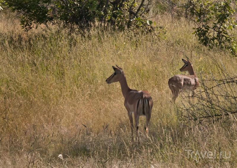 Звери в парке Этоша автомобилей не боятся / Фото из Намибии