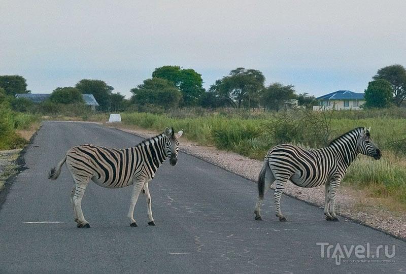 Зебры на дороге, парк Этоша / Фото из Намибии