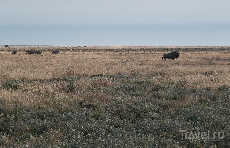 Антилопа гну и стало сернобыков, парк Этоша / Фото из Намибии
