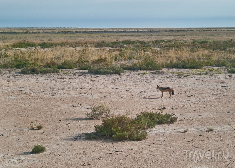 Шакал в парке Этоша / Фото из Намибии