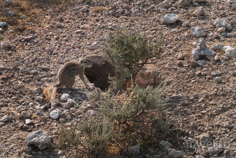 Земляная белка в парке Этоша / Фото из Намибии