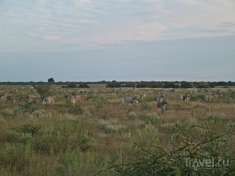 Бесчисленное стадо зебр, парк Этоша / Фото из Намибии