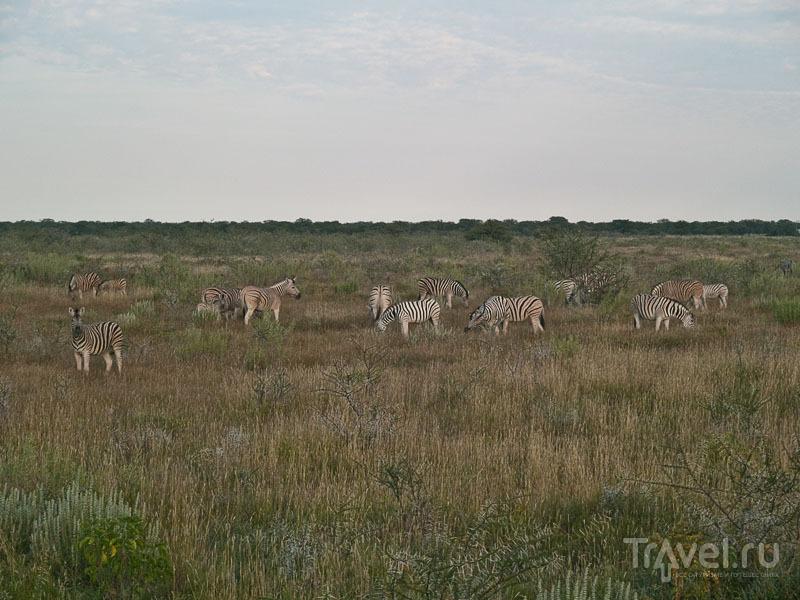 Зебры в парке Этоша / Фото из Намибии