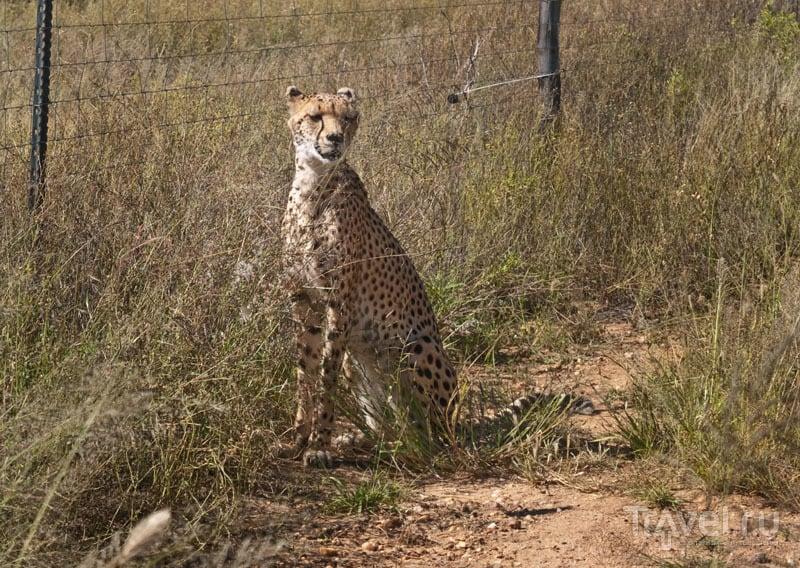 Гепард, парк Naankuse / Фото из Намибии