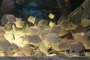 Пресноводный аквариум / Польша