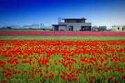 Многие тюльпаны срезаны / Нидерланды