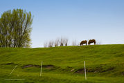 Пасущиеся лошади / Нидерланды