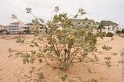 Самое высокое растение / Кабо-Верде