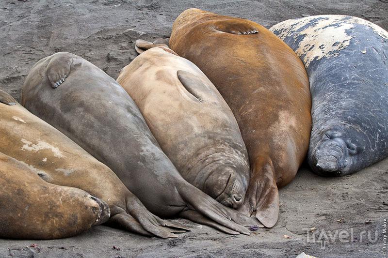 Отдыхающие морские слоны в Антарктиде / Фото из Антарктики