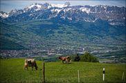Коровы на поле / Лихтенштейн