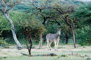 Зебры / Намибия