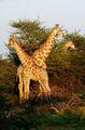 Жирафы / Намибия