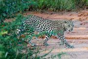 Леопард / Намибия