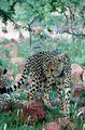 Гепард / Намибия