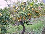 Лимонное дерево / Италия