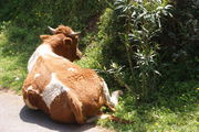 Отдыхающая корова / Турция