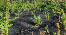 Виноград растет в туфе / Кабо-Верде