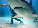 Рифовая акула / Багамские острова