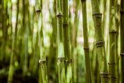 Заросли бамбука / Португалия