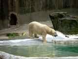 Белый медведь / США
