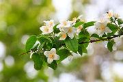 Цветет жасмин / Иран