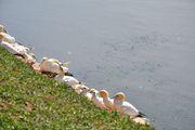 Желтоголовые птицы / Германия
