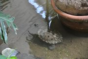 Черепаха в пруду / Германия