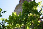Листья дуба / Франция