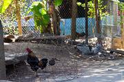Домашняя птица / Вьетнам