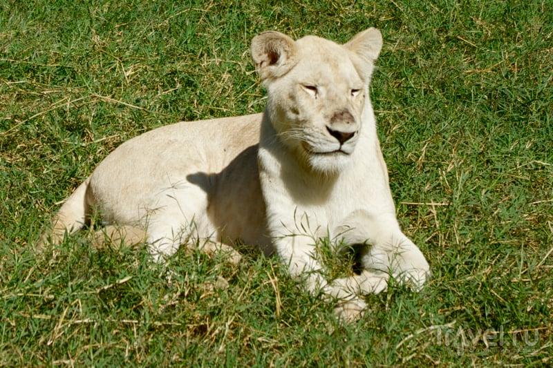 Молодая львица в парке Казела, Маврикий / Фото с Маврикия
