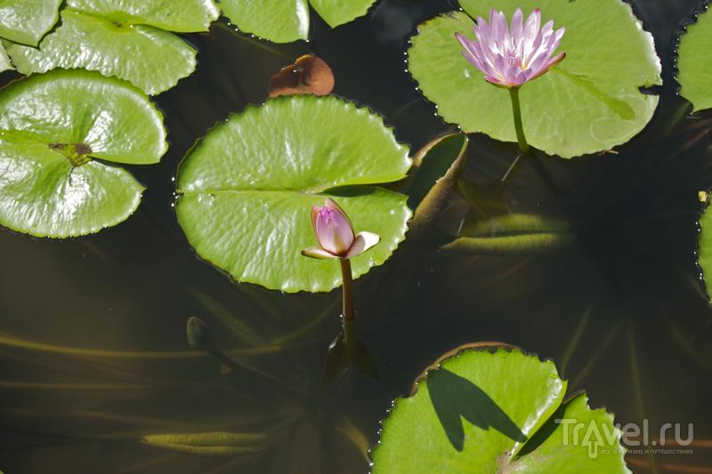 Водные растения в саду Пампльмус, Маврикий / Фото с Маврикия