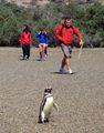 Не мешать пингвину / Аргентина