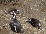 Пингвин зевает / Аргентина
