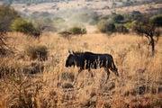 Антилопа гну / ЮАР
