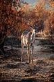 Антилопа куду / ЮАР