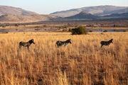 Пасутся зебры / ЮАР