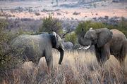 Повзрослевшие самцы / ЮАР