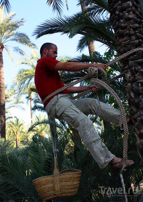 Садовник пальмового парка в Эльче, Испания / Фото из Испании