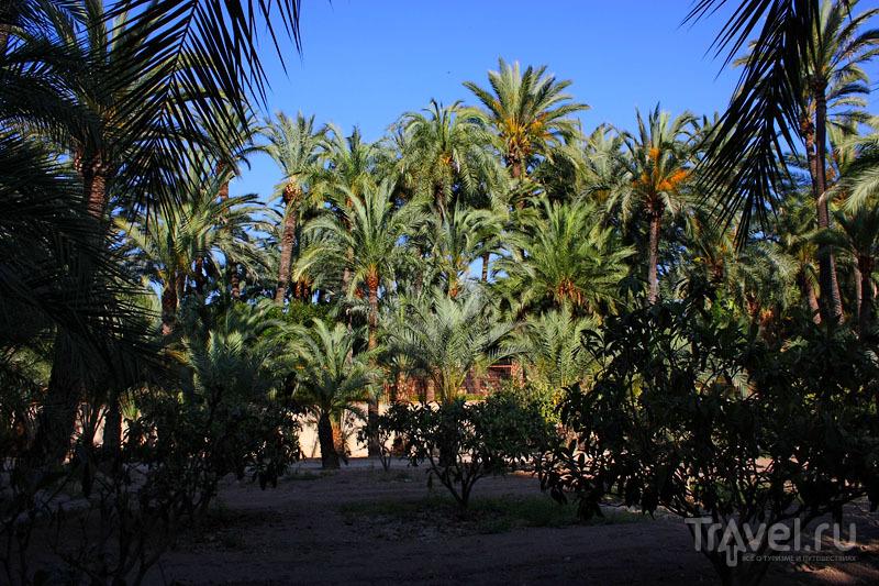 Пальмовый парк в Эльче, Испания / Фото из Испании