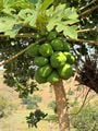 Зеленая папайя / Мозамбик
