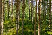 Хвойный лес / Финляндия