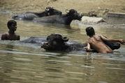 Купание буйволов / Индия